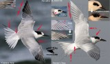 Common vs. Forster's Tern - diagnostic traits during November in Texas