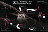 Osprey - Banking Turn