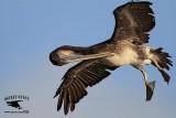 Brown Pelican preening on the wing