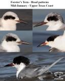 Forster's Tern - Head patterns - Mid-January - UTC