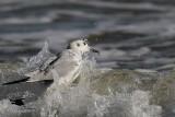 Bonaparte's Gull flock feeding in breakers - UTC January