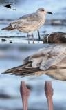 Seagull - Upper Texas Coast - February 2, 2013