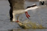 Black Skimmer catching very large fishes