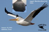American White Pelican with cattle ear tag
