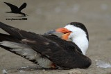 Black Skimmer with distal limb necrosis (dry gangrene) - preening on the ground