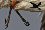 Black Skimmer with distal limb necrosis (dry gangrene) - close-ups