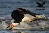 Black Skimmer with distal limb necrosis (dry gangrene) - foraging