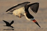 Black Skimmer with distal limb necrosis (dry gangrene) - trying to scratch