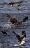 Osprey dragging feet in water after aborting strike