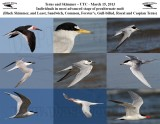 Terns and Skimmer – UTC - March 15, 2013