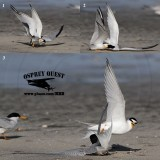 Least Tern - ground attack and air strike - physical fights