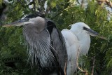 Great White Heron and Great Blue Heron breeding pair - Texas - April 2013
