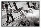 Lasooing Goats