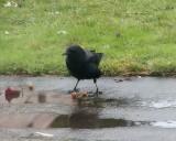 ingenious_crow
