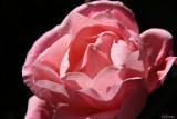 Rose Haiku #16