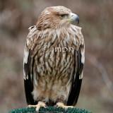 Aquila heliaca - Aigle impérial - Eastern Imperial Eagle