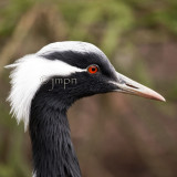 Anthropoides virgo - Grue demoiselle - Demoiselle Crane