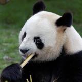 Panda Géant - Giant Panda