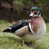 Aix sponsa - Canard carolin - Wood Duck