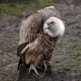 Gyps fulvus - Vautour fauve - Griffon Vulture