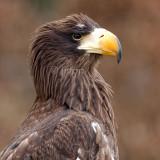 Haliaeetus pelagicus - Pygargue de Steller - Sea Eagle