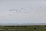 Flying ducks and Buffalo