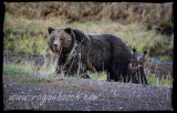 Yellowstone, A Grizzly Experience!