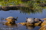 a family of painted turtles