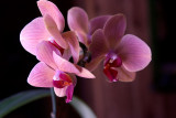 Fourth Orchid Bloom
