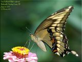 New Giant Swallowtail Record