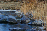 Marsh Ice