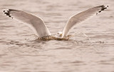 Caspian-adult-landing-grou-nov-2012-Holland.jpg