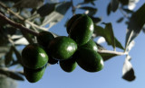 Olives of Puglia