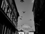 The flight of Pigeons
