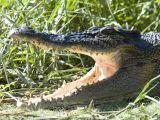 Estuarine Crocodile or Ginga