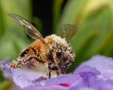 Pollenicious