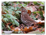 Bruant fauve - Fox sparrow