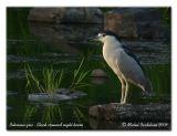 Bihoreau gris - Black crowned night heron