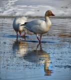 _SDP3690pb.jpg  Snow Goose   Chen caerulescens