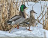 _DSC0148pb.jpg Mallard Ducks
