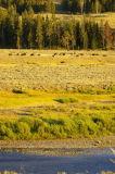 Roaming herds of American Bison (aka buffalo)