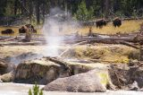 The bison seem to be approaching us at the mud pools
