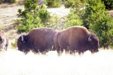some bison hanging out nearby