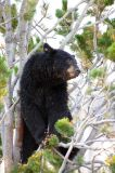 A roadside bear stops more traffic