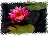 8-2005 Water Lily.JPG