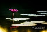 Water lily in Lake Sebu