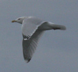 Glaucous X Herring Gull hybrid