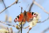 Lepidoptera (8)