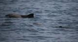 Heavyside's Dolphins