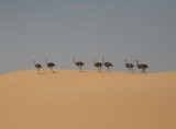 Ostriches in the Dunes